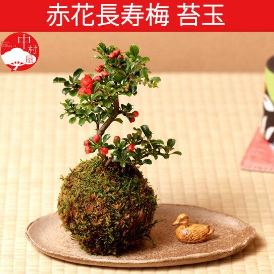 赤花長寿梅 苔玉盆栽 コケダマ チョウジュバイ ...の商品画像