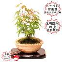 イロハモミジと信楽焼窯肌三方曲げ鉢のミニ盆栽  紅葉    おギフトプレゼントに