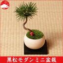 黒松モダンミニ盆栽 ベリー&紅白飾り付き 選べる3色鉢 クロマツ【楽ギフ_包装】 ギフトプレゼントに