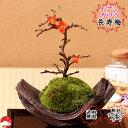 長寿梅盆栽 国産イブシカワラ鉢 チョウジュバイ 卓上盆栽 な盆栽【楽ギフ_包装】迎春 ギフトプレゼントに