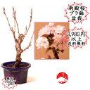 2021春開花 【プラスチック鉢入り盆栽素材】八重桜 南殿桜 なでん ナデン
