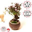 姫紫丁花の丸鉢ミニ盆栽 シチョウゲ 国産...