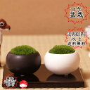 【単品】苔盆栽 陶器入りコケ盆栽 ホソバオキナゴケ ヤマゴケ おギフトプレゼントに