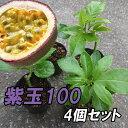 『パッションフルーツ苗 4個セット 紫玉100』大玉品種で育てやすい! 緑のカーテンとしても!!