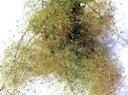 ドライフラワー花材 スモークツリー・グリーンファー