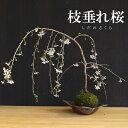 苔玉 枝垂れ桜(富士桜)の苔玉焼締茶器セット 敷石つき 陶房・歩知歩智 名古屋セットおうち時間 巣ごもり時間