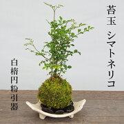 苔玉 涼しげな葉が苔とよくあいます シマトネリコの苔玉 信楽焼白三つ足器セット 敷石つき 信楽焼 伝統 滋賀セット