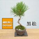 盆栽 日々の暮らしに憩いと安らぎを演出 黒松の盆栽(焼締鉢)