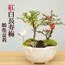 盆栽 長寿梅 紅白 二本植え紅白長寿梅(コウハクチョウジュバイ)鶴亀盆栽花咲くボンサイ bonsai 草木瓜 お祝い 父の日 母の日 誕生日 新入学 新築祝い ウエディングギフト