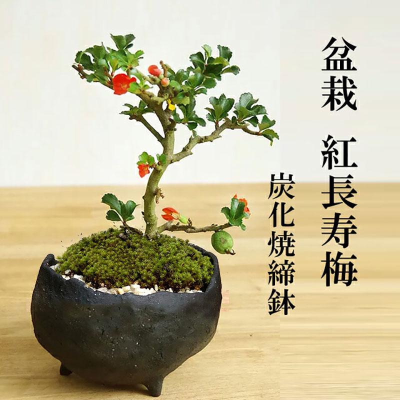 盆栽 紅長寿梅(べにちょうじゅばい) 鉢 作家 ...の商品画像