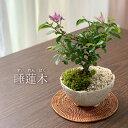 盆栽 スイレンボク 睡蓮木の盆栽【万古白鉢】睡蓮 万古焼 四日市 bonsai 誕生日 還暦祝い 父の日 母の日