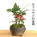 盆栽 ヤブコウジ(十両)の盆栽鉢 真山茜