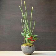 盆栽 可憐な寄せ植え盆栽 トクサ・ヤブコウジの盆栽_刷毛目丸鉢