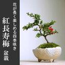 花は四季咲き 長寿梅【紅長寿梅(ベニチョウジュバイ)の盆栽(万古焼白丸鉢)】