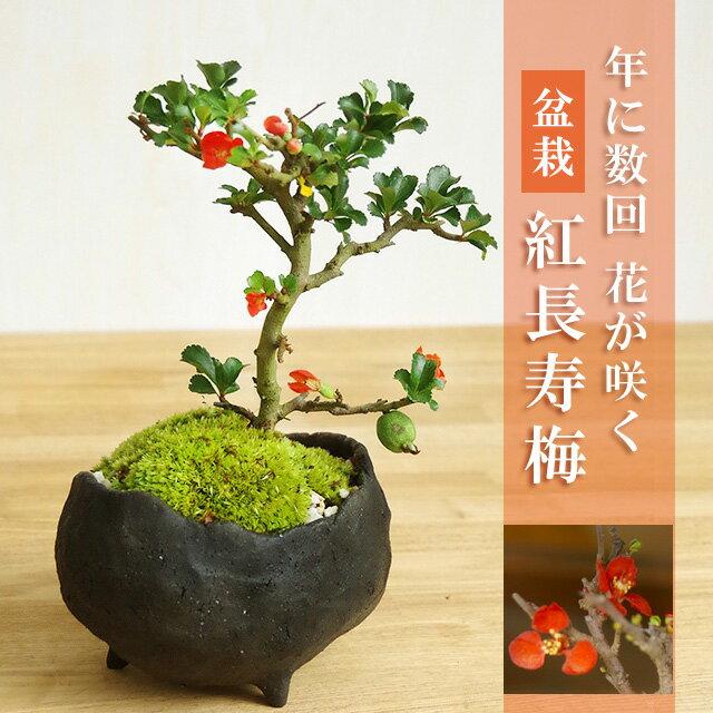盆栽 紅長寿梅(べにちょうじゅばい)【鉢 作家 ...の商品画像