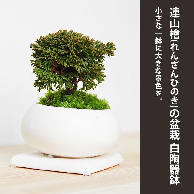 壮大な景色をお楽しみください【連山檜(れんざんひのき)の盆栽(白陶器鉢)・下皿セット】