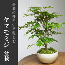 四季折々の変化を楽しむ【山紅葉(ヤマモミジ)の盆栽(鉢 みどり屋 和草(にこぐさ)】