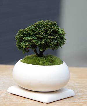 父の日 ギフト盆栽 小さくも壮大な景色をお楽しみください 連山檜(れんざんひのき)の盆栽(白陶器鉢)・下皿セット