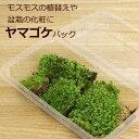 盆栽苔 ヤマゴケ パック 盆栽の化粧 コケテラリウム 苔盆栽 ヤマゴケ