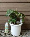 【5寸鉢植え】ドワーフモンキーバナナ 《熱帯果樹苗》「☆」