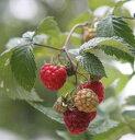 【トゲナシ】赤実ラズベリー グレンモイ《果樹苗》*樹高20〜30センチ程度「☆」