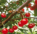ノーススター サワーチェリー(サクランボ)《果樹苗》
