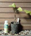 カドタ(イチジク)3寸ポット植え《果樹苗》「☆」