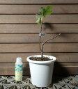 【5寸鉢植え】カドタ(イチジク)《果樹苗》「☆」