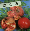 【6寸鉢植え】大甘ザクロ(日本ざくろ)《果樹苗》