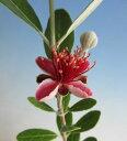 フェイジョア(小葉性品種 コバーノ)《果樹苗》