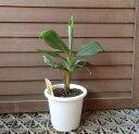 サンジャクバナナ(5寸鉢植え)三尺バナナ 《熱帯果樹苗》