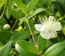 ミルタス 5寸鉢植え (ギンバイカ 銀梅花)《熱帯果樹苗》