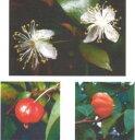 【5寸鉢植え】 ピタンガ ブラジルチェリー《熱帯果樹苗》「☆」
