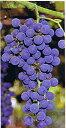 信州山ぶどう 苗木 苗 ヤマブドウ 山葡萄《果樹苗》「☆」《果樹苗》「☆」