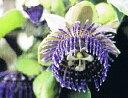 パッシフローラ(ミズレモン2本セット A・Bタイプ) 【熱帯植物・トロピカルフラワー・パッシフローラ・時計草】