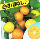 プチマル タネナシ金柑 苗木 ぷちまる キンカン きんかん《果樹苗》「☆」