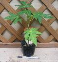 矮性パパイヤ(台農2号) 《熱帯果樹苗》
