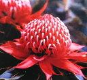 テロペア・スペシオシマ(スペシオシッシマ)5寸鉢植え...