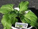 葉肉吸塩植物アイスプラント(4ポットセット)「05P03Dec16」