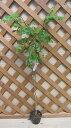 ニセアカシア(白花)樹高20?50センチ程度「☆」