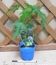 矮性パパイヤ(オキテング25号) 《熱帯果樹苗》