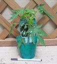 パパイヤ(ベニテング) 《熱帯果樹苗》