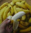 【*4月以降発送予定】沖縄島バナナ(ミニバナナ)  《熱帯果樹苗》「☆」