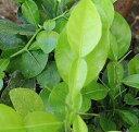 コブミカン(バイマックル) 接ぎ木苗 《熱帯果樹苗》「☆」