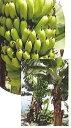 【*4月以降発送予定】サンジャクバナナ 《熱帯果樹苗》