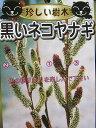 黒いネコヤナギ(クロネコヤナギ)3寸ポット「☆」