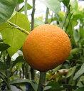 ダイダイ(酢橙 スダイダイ)《果樹苗》