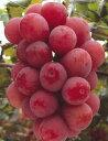 クイーンニーナ(ぶどう)接木 苗木 苗 ブドウ 葡萄《果樹苗...