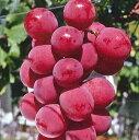 安芸クイーン(ぶどう)接木 苗木 苗 ブドウ 葡萄《果樹苗》「☆」《果樹苗》「☆」