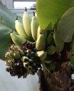 ドワーフモンキーバナナ 《熱帯果樹苗》「☆」